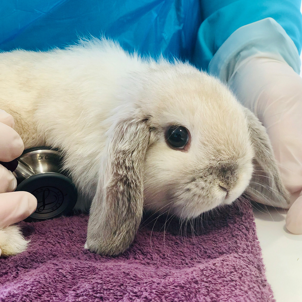 Rabbit patient being treated by the vet