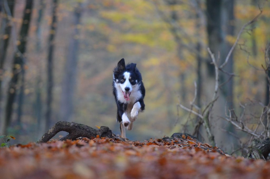 Dog running in the woods