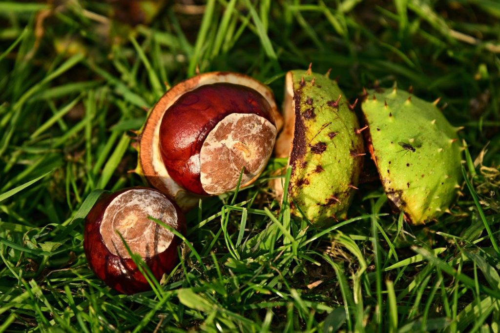 Conkers are poisonous to dogs
